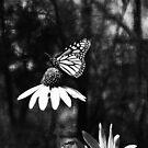 Butterfly, Cox Arbor. Dayton, Ohio 2012  by Jason Franklin