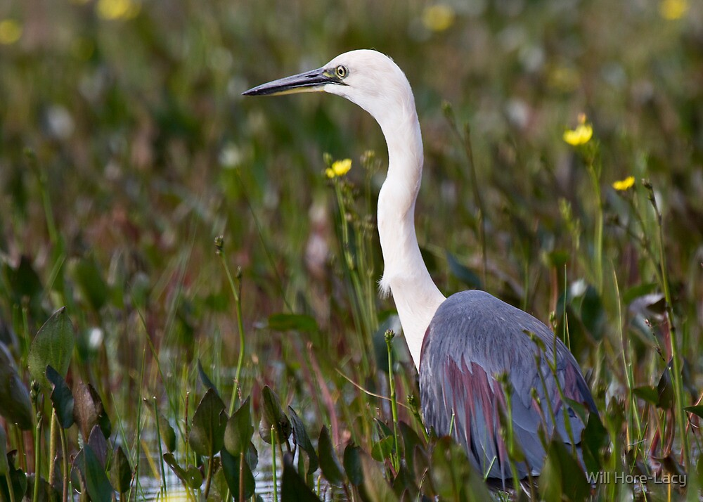 White-necked Heron by Will Hore-Lacy