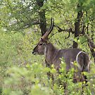 Waterbuck by croust