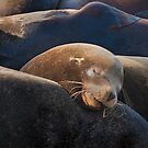 Sea lion lazing comfortably by Chris Prior