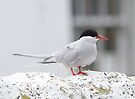 Arctic Tern by Nigel Bangert
