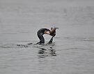Cormorant by Nigel Bangert