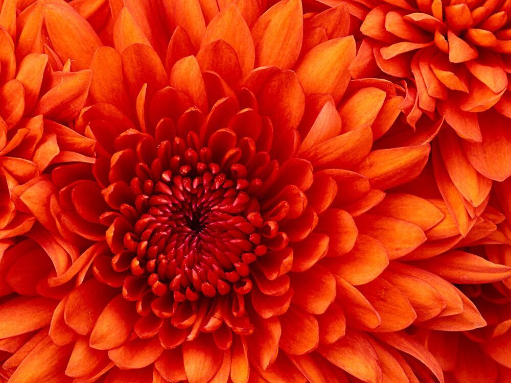 My dear Chrysanthemum by Joshua-Gopaul