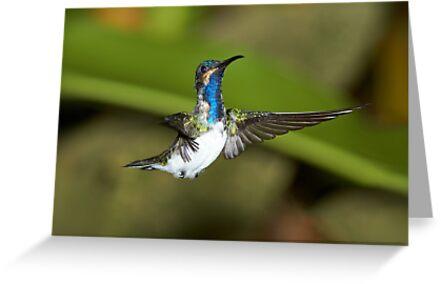 Hummingbird 12 by Sylwester Zacheja