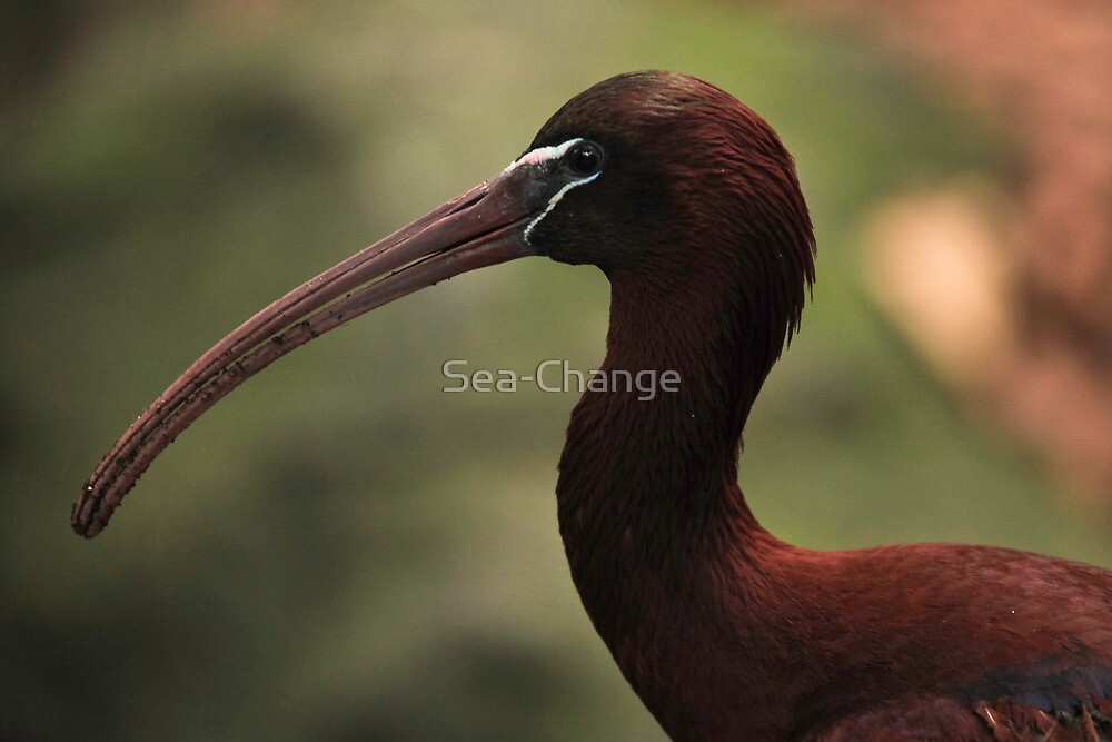 Glossy Ibis by Sea-Change