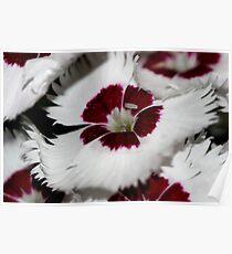 Dianthus macro Poster