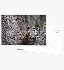 Tawny Frogmouth Nesting Postcards