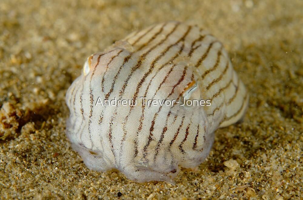 56c5d4c557 Striped Pyjama Squid - Sepioloidea lineolata
