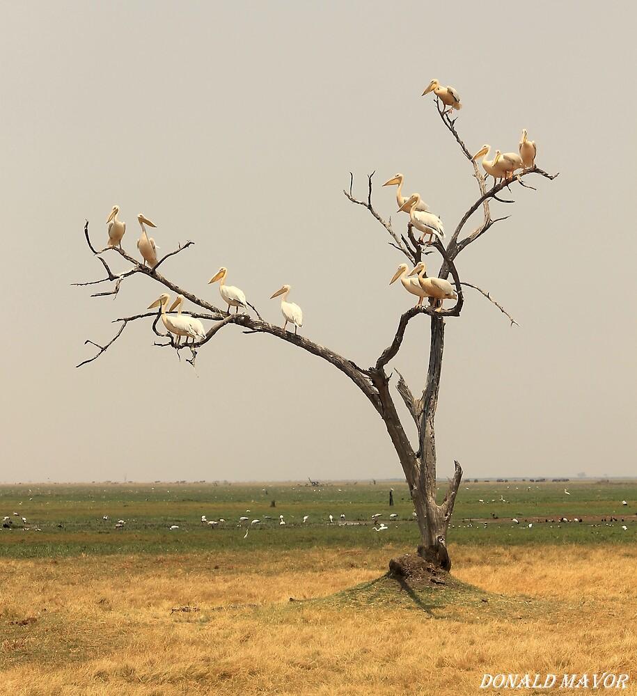 Pelican Tree by Donald  Mavor