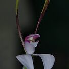 Leptoceras menziesii (Hare Orchid) by Russell Mawson