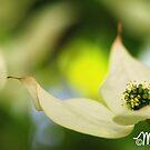 Yamaboushi by milkayphoto