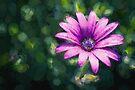 Pink Daisy     (CM) by Raymond Warren