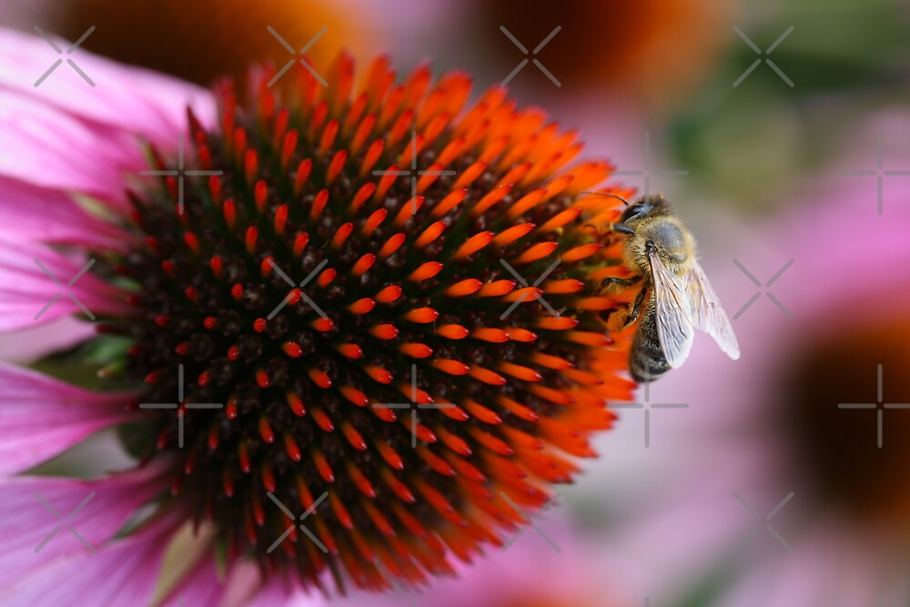 bee on coneflower by Jicha