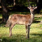 Red Deer, Grampians National Park by annibels