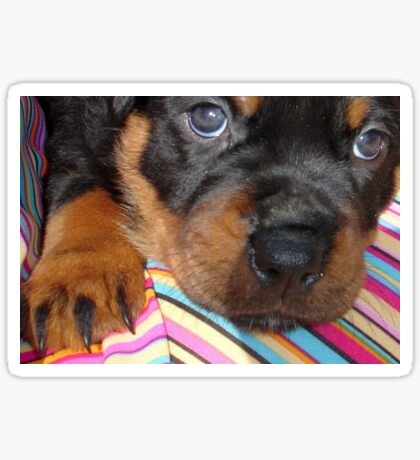 Young Female Rottweiler Making Eye Contact Sticker