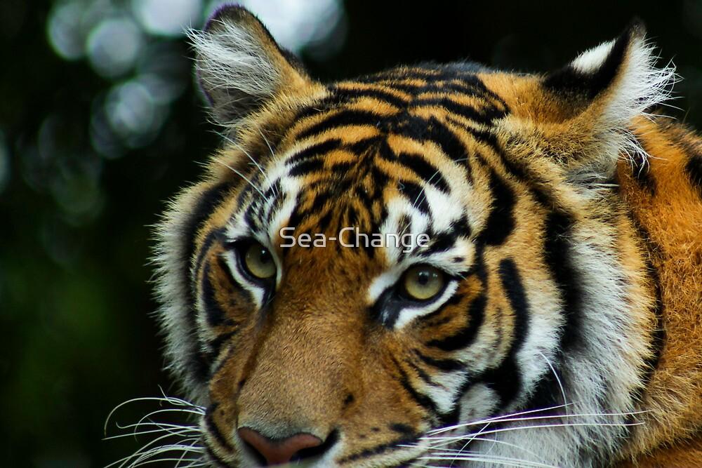 Australia Zoo - Sumatran Tiger  by Sea-Change