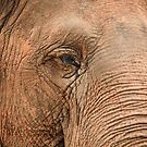 Australia Zoo - Asian Elephant by Sea-Change
