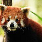 Alma Park Zoo - Red Panda  by Sea-Change