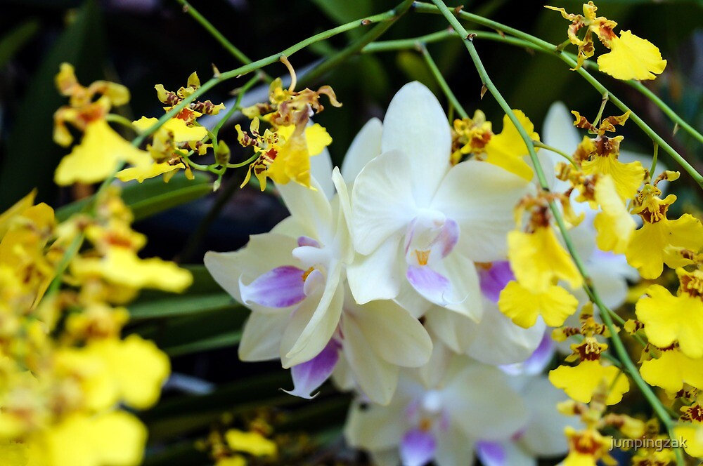 White Orchids by jumpingzak