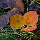 aspen leaves on forest floor by David Galson