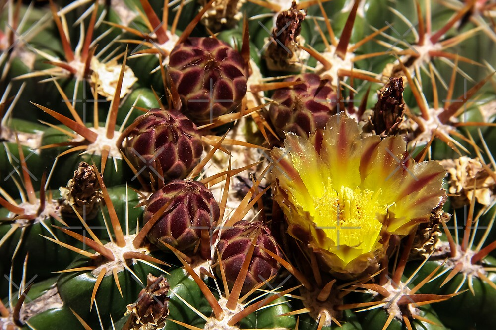 Cactus Flower by Heather Friedman