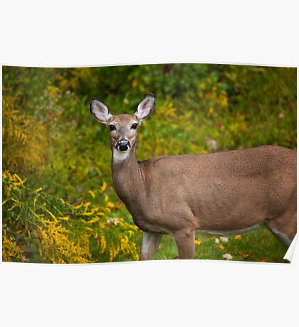 White Tail Early Autumn Poster
