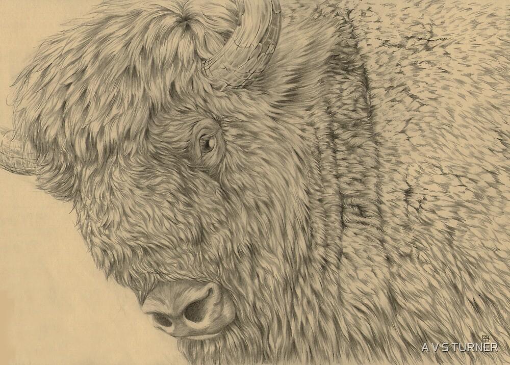 Wisent II (European Bison) by A V S TURNER