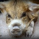 Pig Pen by Laurie Perry
