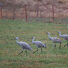 The Cranes Go Walking by Kim Barton
