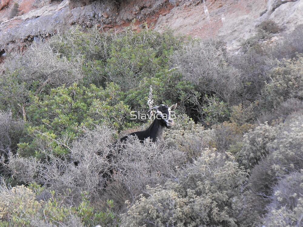 Goat on Greek Islands by SlavicaB