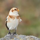 Happy Snow Bunting. by Daniel Cadieux