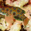 Picturesque Dragonet - Synchiropus picturatus by Andrew Trevor-Jones
