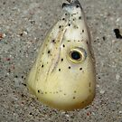 Black-finned Snake Eel - Ophichthus melanochir by Andrew Trevor-Jones