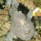 Giant Anglerfish - Antennarius commerson by Andrew Trevor-Jones