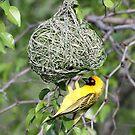 Spottedbacked weaver bird by Anthony Goldman