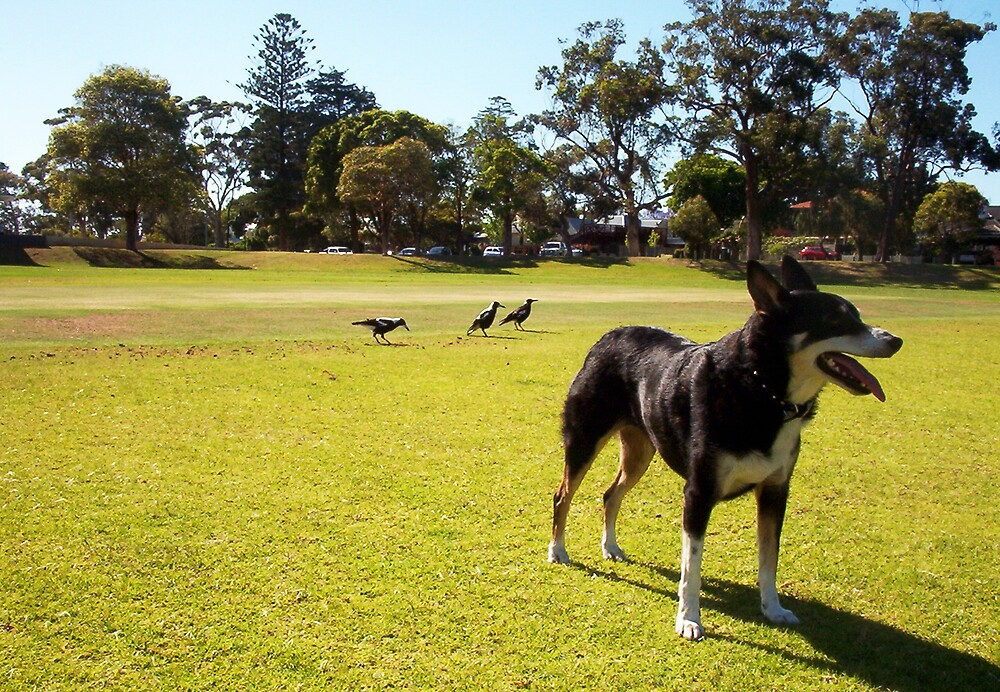 Magpies - 14 11 12 - Three by Robert Phillips