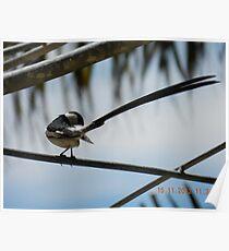 Pintail Whydah preening Poster