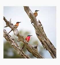 African Carmine Bee-eaters Photographic Print