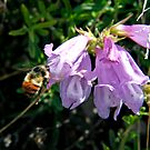Busy bumble bee by vernonite