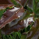 Rain Drops on Leaves by vernonite