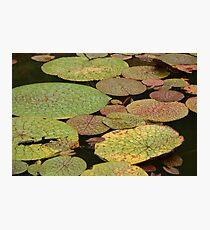 Water Lillies, Brazil Photographic Print