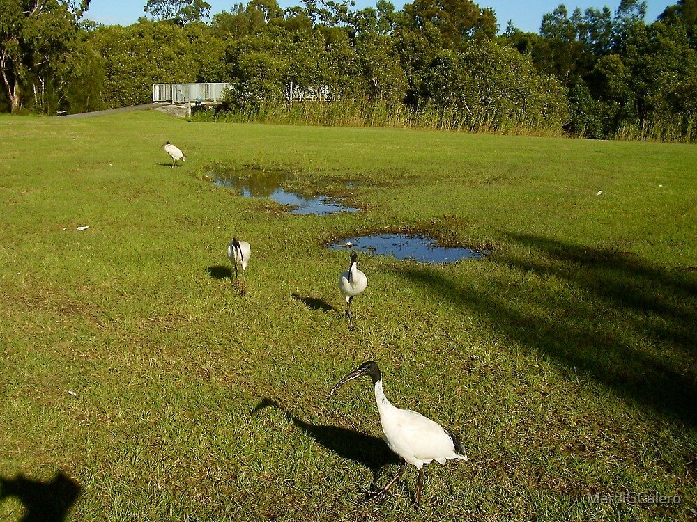 White Ibis in the Park by MardiGCalero