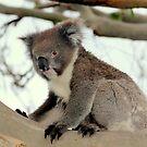 Koala by Robert Jenner