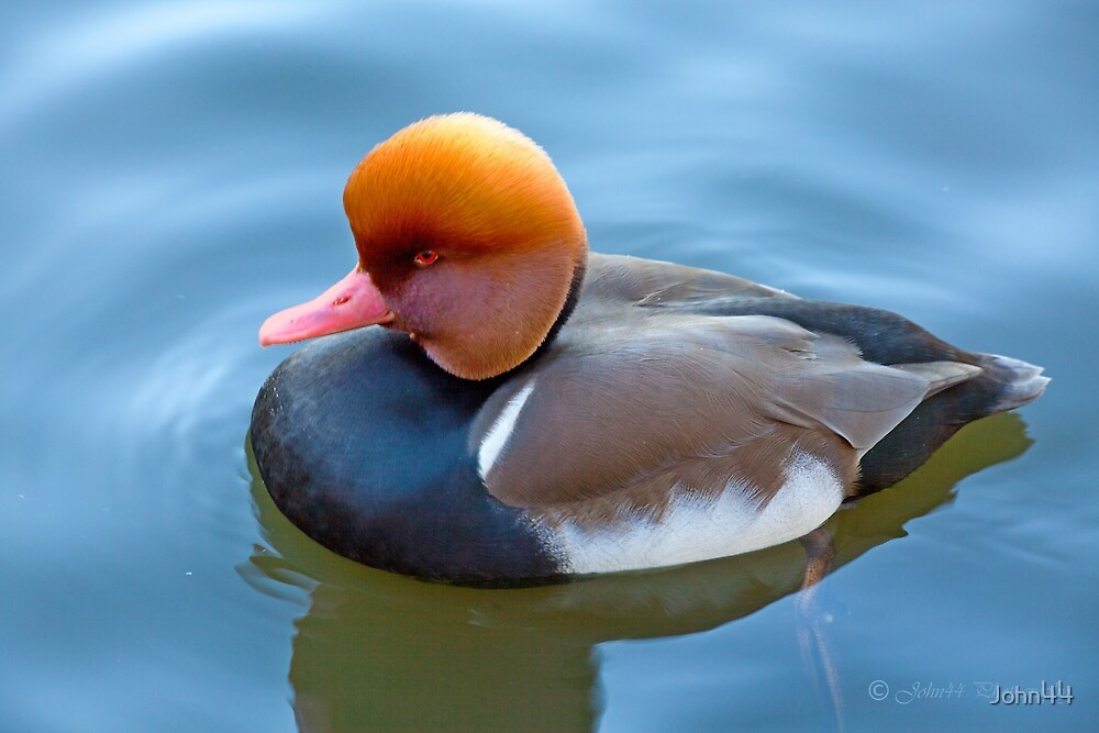 The cousin of Donald  by John44