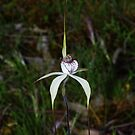 Caladenia venusta by Russell Mawson