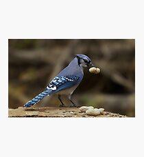 Feeding the Blue Jays Photographic Print