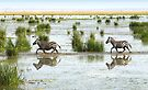 Zebra Cantering Across The Swamp by Carole-Anne