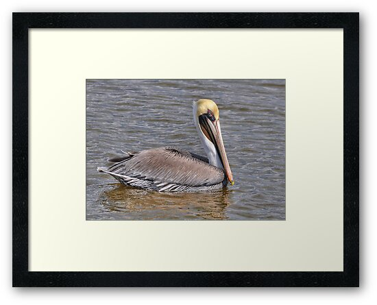 Male Brown Pelican by Kathy Baccari