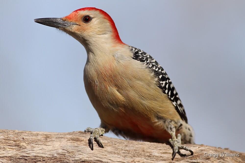 Red Bellied Woodpecker by Gregg Williams