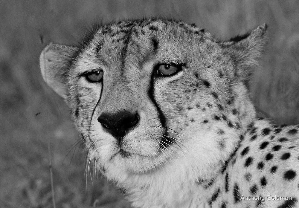A wild cheetah portrait by jozi1